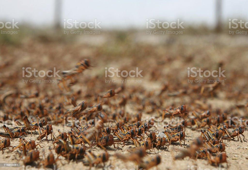locust plague royalty-free stock photo