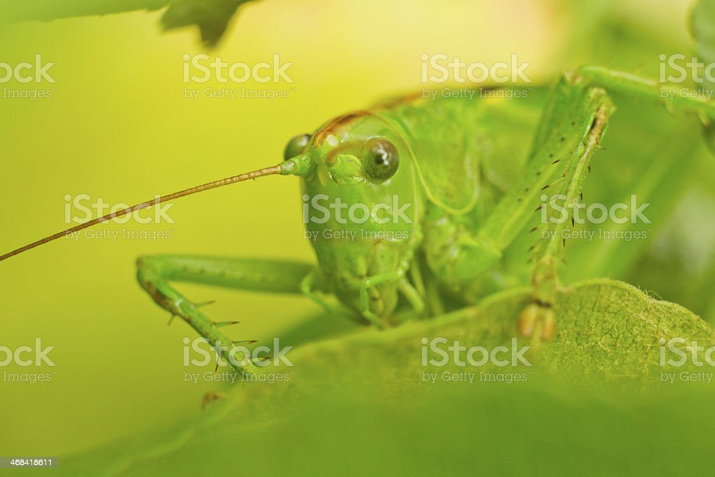 locust, portrait of grasshopper macro sitting on a grass royalty-free stock photo