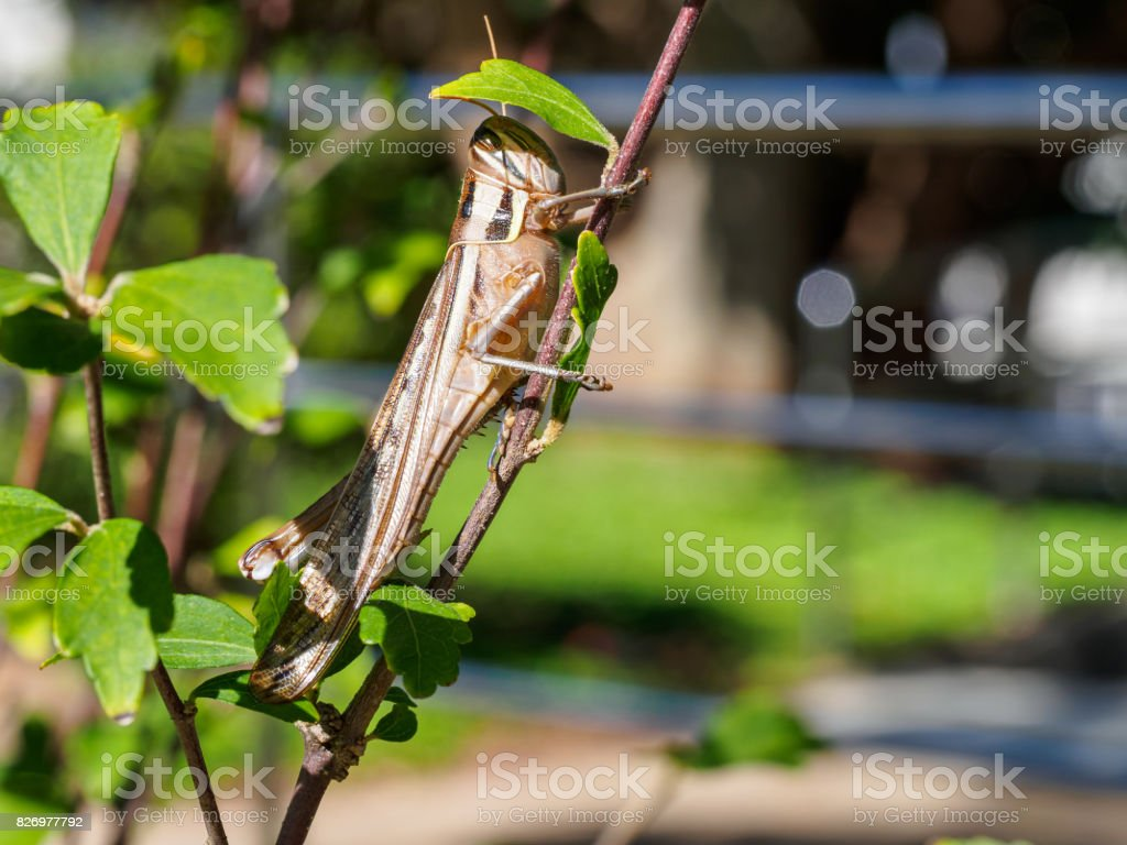 Locust protects from the sun stock photo