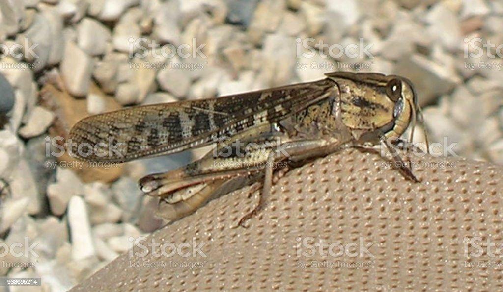 Locust - schistocerca gregaria, Closeup of desert locust stock photo