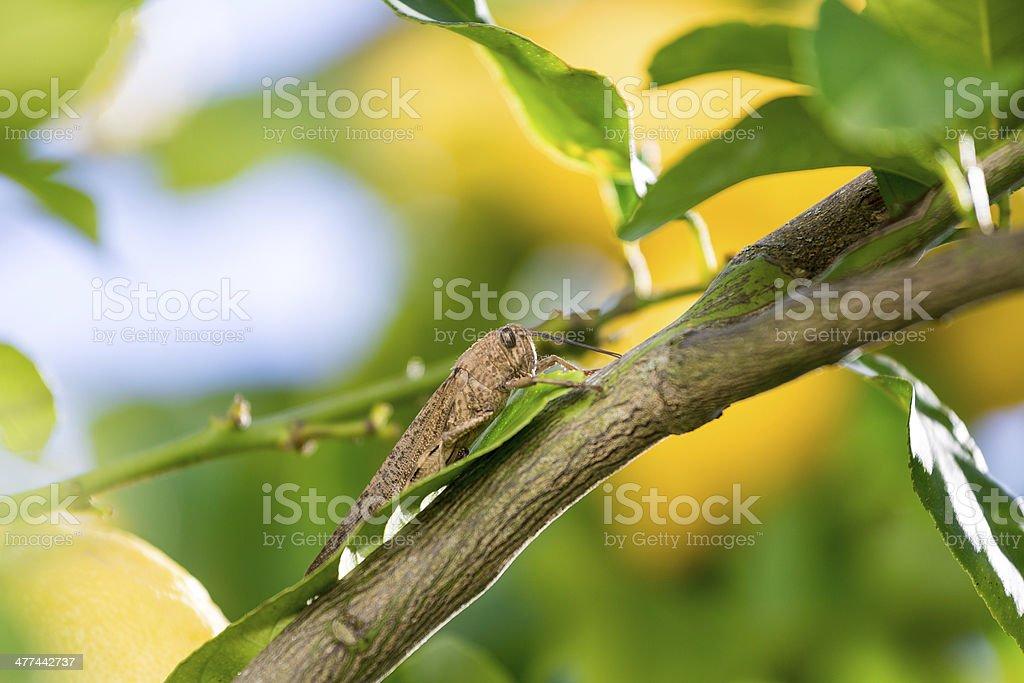 Locust sits on a Branch of Lemon Tree stock photo