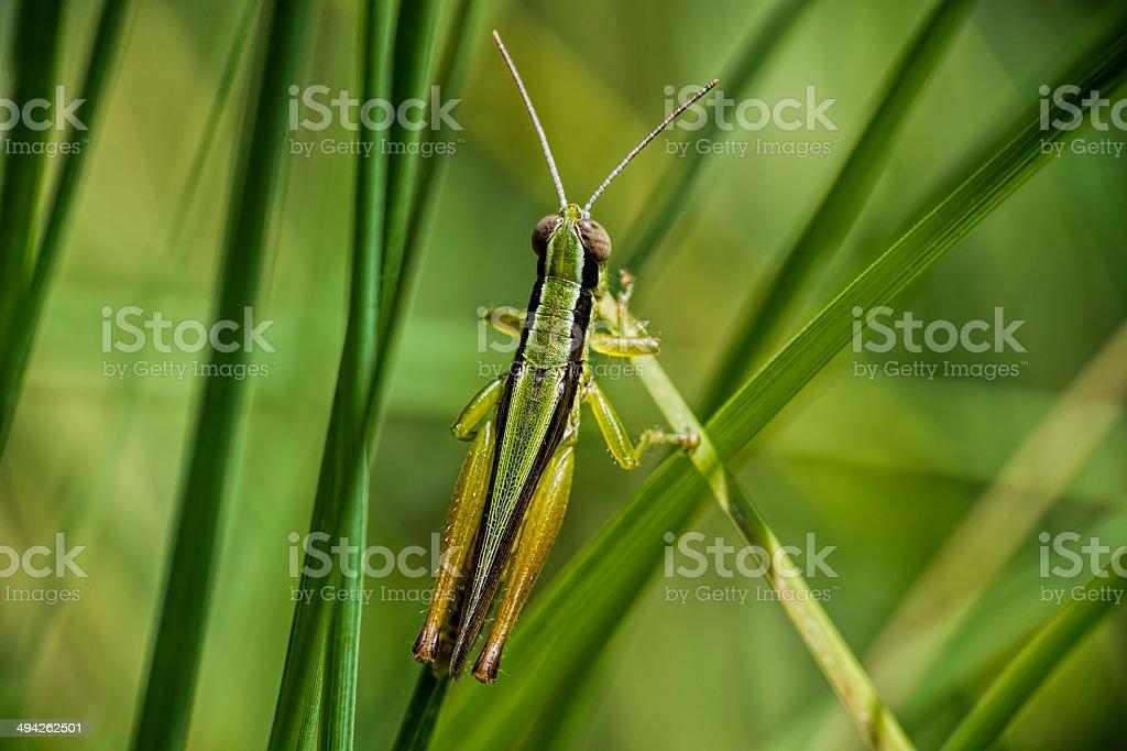 Locust, striped and checkered stock photo