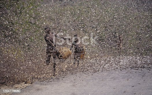 Swarm of locusts - grasshoppers in northern Kenya. People try to catch the insects  for food.