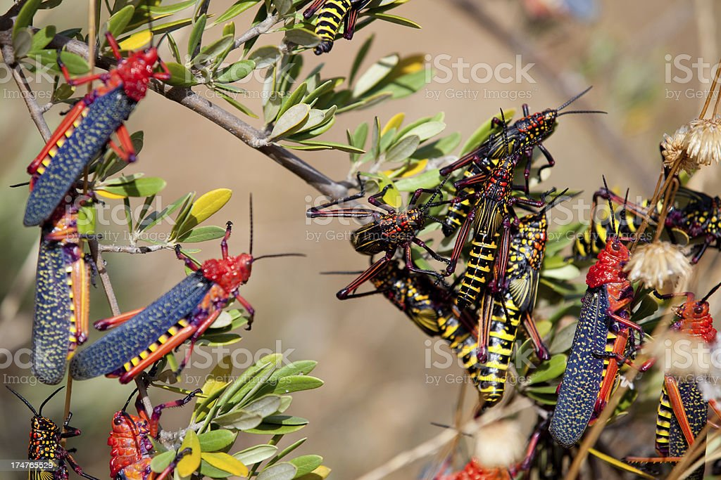 Locust swarm stock photo