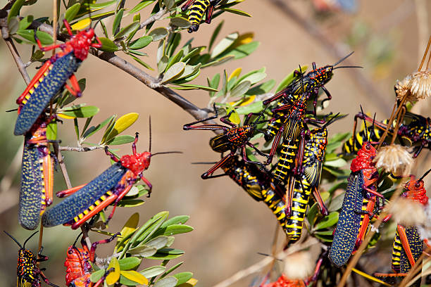 locust swarm - locust swarm stockfoto's en -beelden