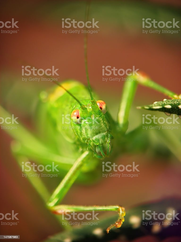 Locusta migratoria royalty-free stock photo