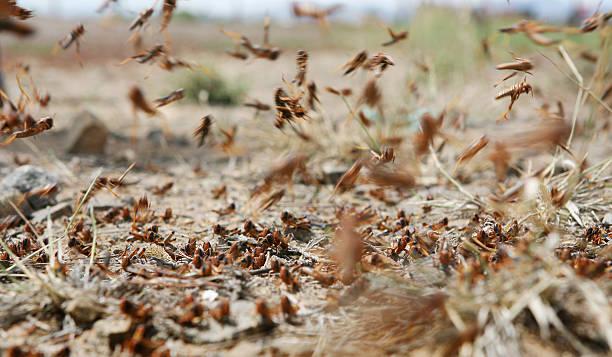 locusts on the move - locust swarm stockfoto's en -beelden