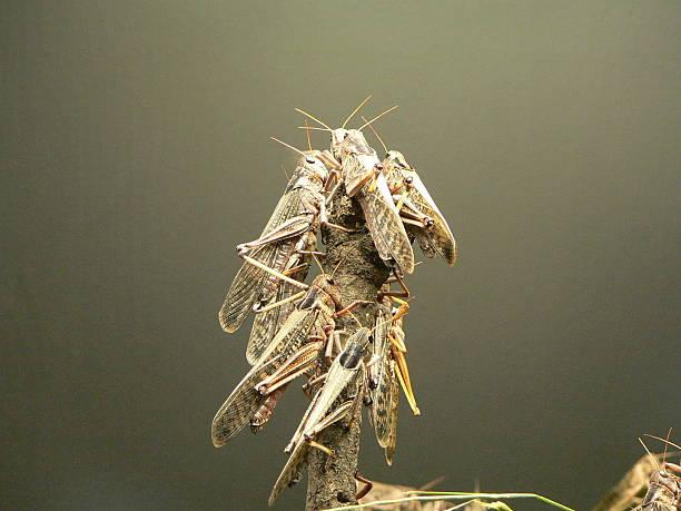 locusts - locust swarm stockfoto's en -beelden