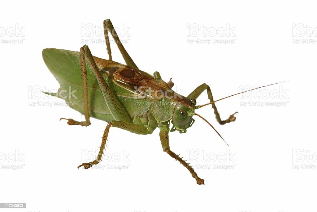 locusts royalty-free stock photo