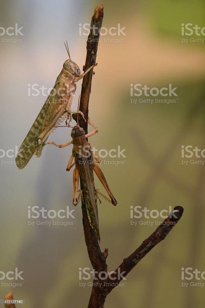 locusts stock photo
