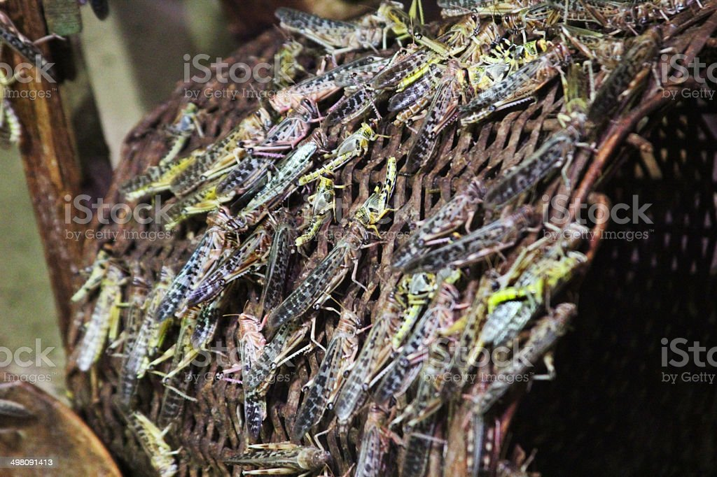 Locusts swarming over a wicker basket stock photo