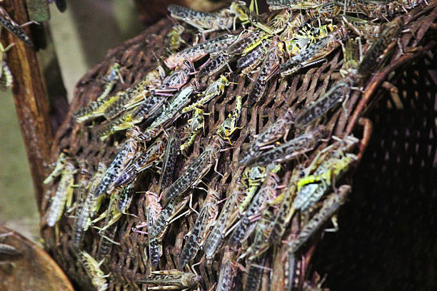 locusts swarming over a wicker basket - locust swarm stockfoto's en -beelden