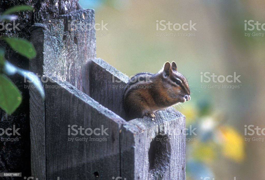 Lodgepole Chipmunk (Tamias speciosus) Eating on a Birdhouse stock photo
