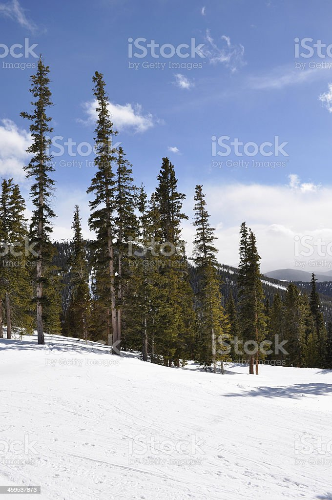 Lodgepole Pine Tree Forest in Colorado Rocky Mountains royalty-free stock photo