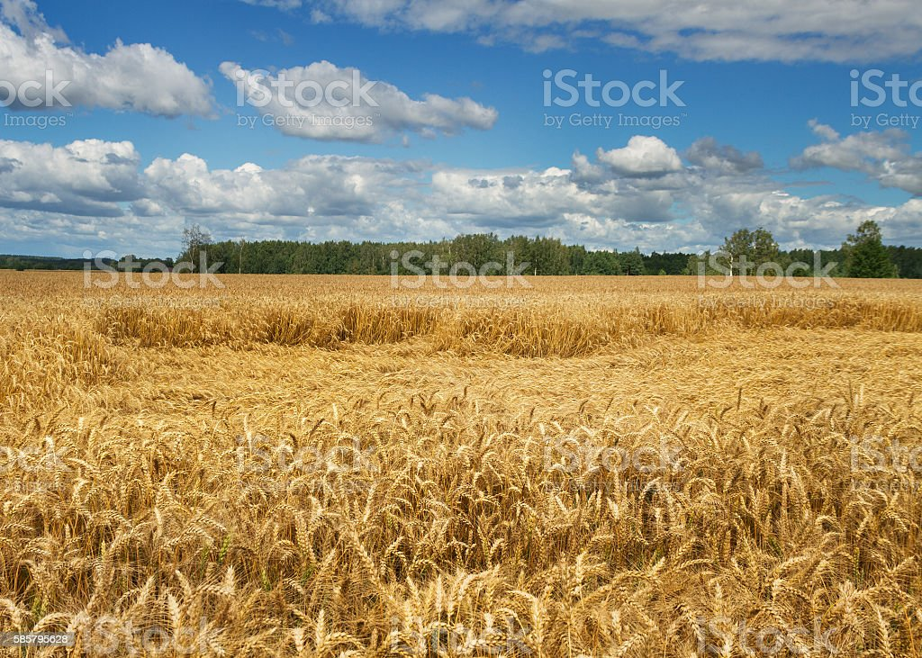 Lodging wheat. stock photo