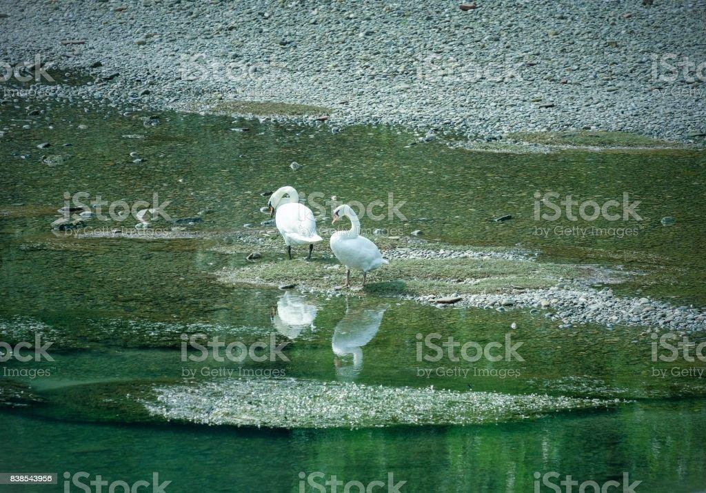 Lodi (Italy): swans in the Adda river stock photo