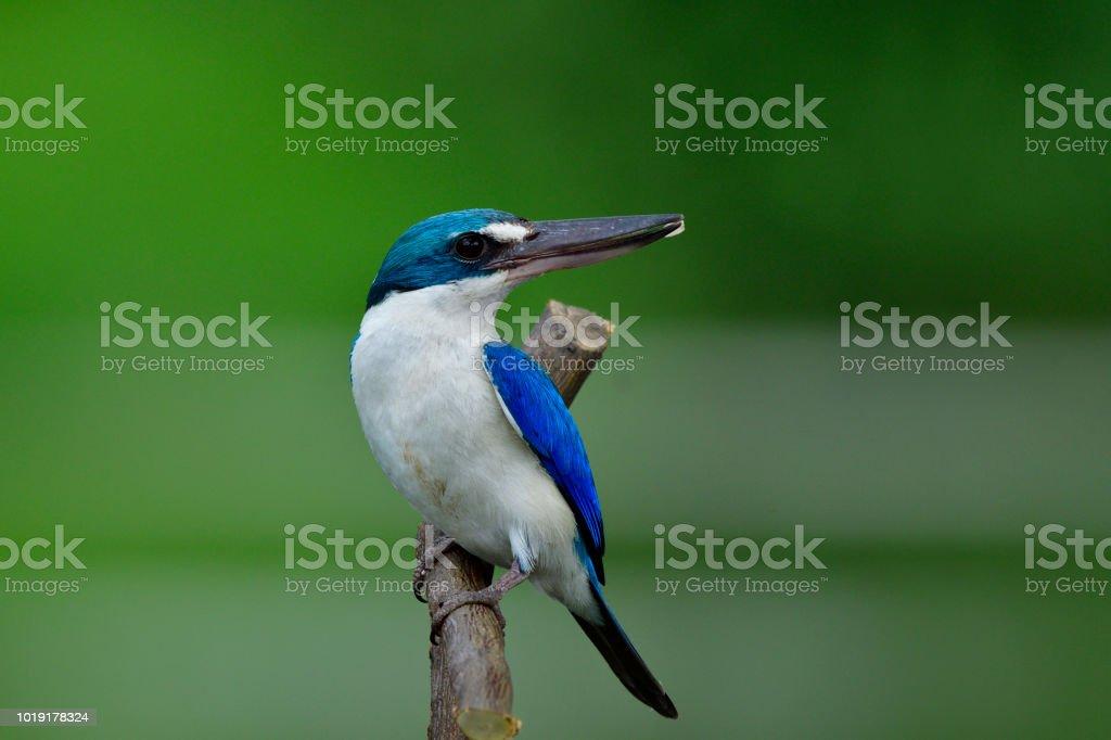 Loely blue bird, Collared kingfisher a large beaks bird perching on...
