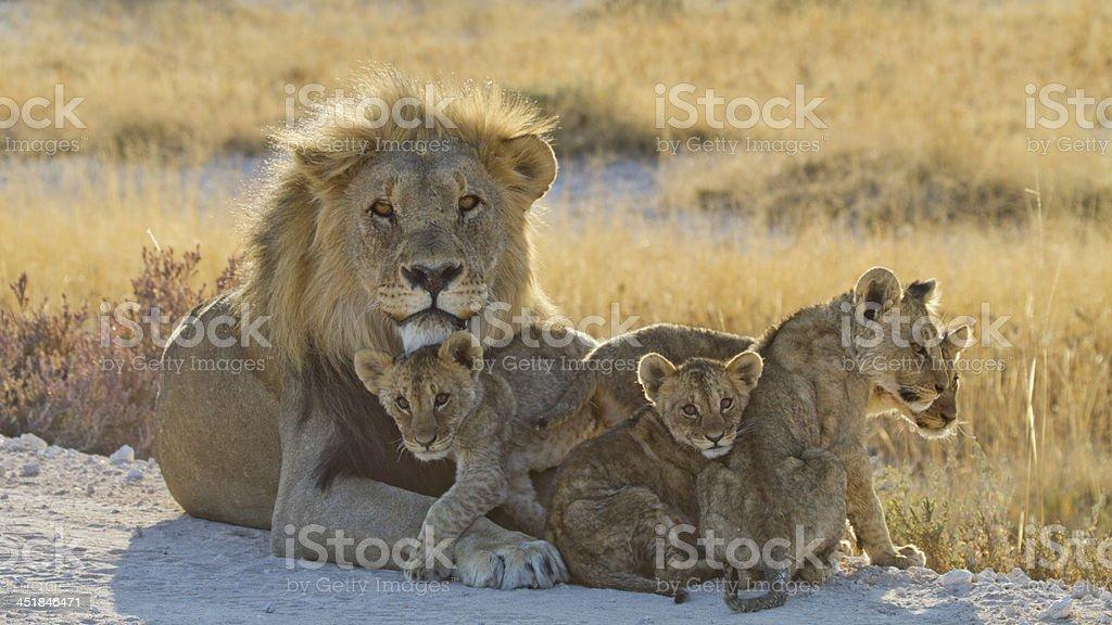 Loewe,  Panthera leo,  Lion stock photo
