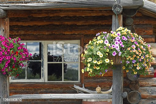 Petunia like, million bells (calibrachoa) flowers,  hanging in a log cabin, Central Alaska.