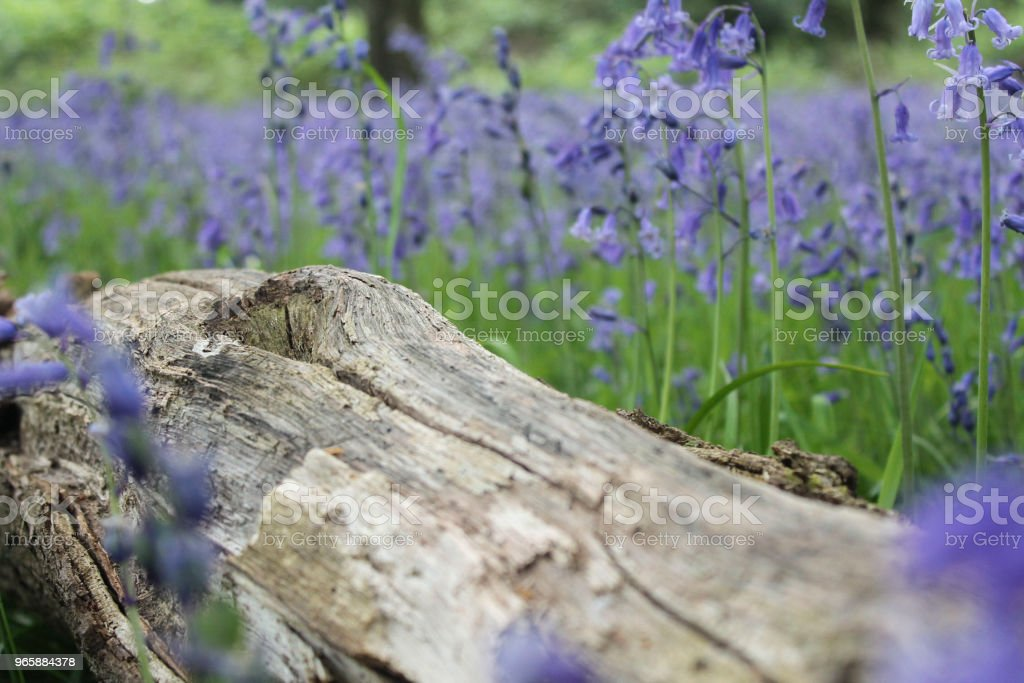 Log in bluebells - Royalty-free Backgrounds Stock Photo