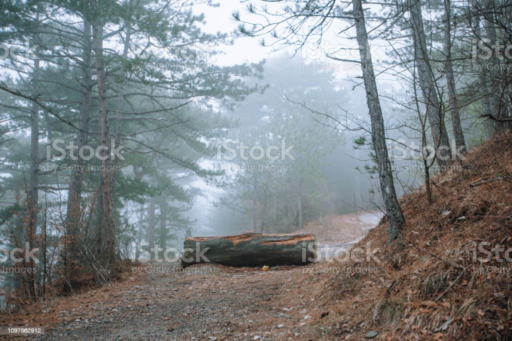 A log lying in the middle of the path in the forest .Evergreen...