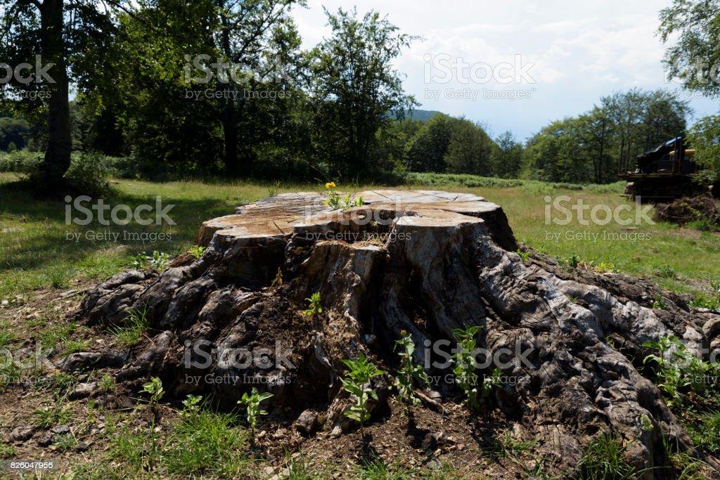 Log of giant tree with calendula stock photo