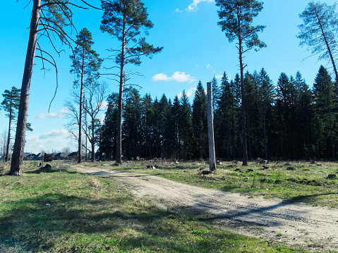 Logged area in the pine forest