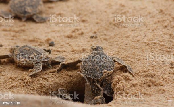 Loggerhead baby sea turtles hatching in a turtle farm in sri lanka picture id1252021610?b=1&k=6&m=1252021610&s=612x612&h=afcl0l9nwze6ltfb8rlx7lt91q qa47ovcbxigfqnog=