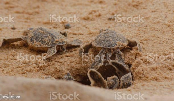 Loggerhead baby sea turtles hatching in a turtle farm in sri lanka picture id1252021658?b=1&k=6&m=1252021658&s=612x612&h=zo3gi0lvhwh rtk34 fjvsetq45jciqxals55svylpa=