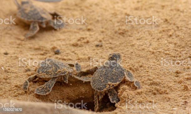 Loggerhead baby sea turtles hatching in a turtle farm in sri lanka picture id1252021670?b=1&k=6&m=1252021670&s=612x612&h=nc9cepavbtbhrl7bouu4wtxrscmw uhc40jzxdclztg=