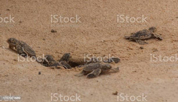 Loggerhead baby sea turtles hatching in a turtle farm in sri lanka picture id1252021689?b=1&k=6&m=1252021689&s=612x612&h=qu8wcl embikanhvs9ejlpvnw8uyebnmegsbxk3hdgi=