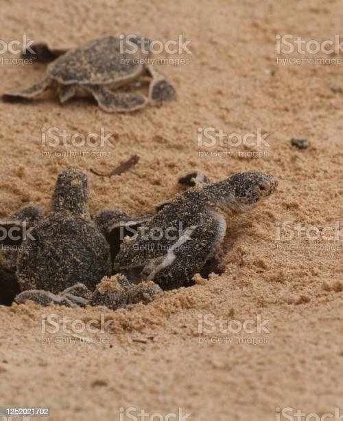Loggerhead baby sea turtles hatching in a turtle farm in sri lanka picture id1252021702?b=1&k=6&m=1252021702&s=612x612&h=l2g2c8a5kyvfm0t n8yb3jxcjygapy5biy0cj3u2ofu=