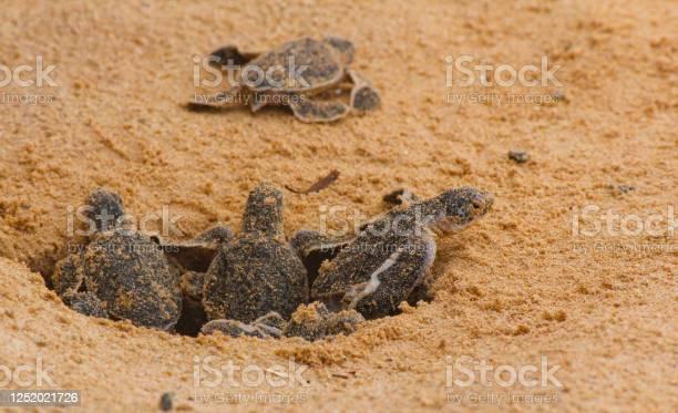 Loggerhead baby sea turtles hatching in a turtle farm in sri lanka picture id1252021726?b=1&k=6&m=1252021726&s=612x612&h= nktdwyyyb4nye1nus6vqv0ze0dnmyuxctmwieegyd0=