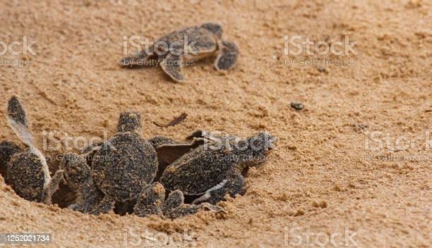 Loggerhead baby sea turtles hatching in a turtle farm in sri lanka picture id1252021734?b=1&k=6&m=1252021734&s=612x612&h=kk257hie4my m0 cdwxnonydlljl5l8xs1vt 5p3ctc=