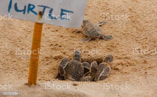 Loggerhead baby sea turtles hatching in a turtle farm in sri lanka picture id1252022294?b=1&k=6&m=1252022294&s=612x612&h=6y3uorbwc7zzz2g 7vfxtxohqzconvko5xijpqyhhv8=