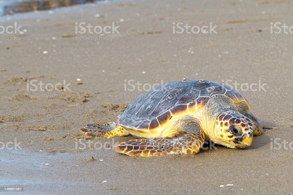 Loggerhead sea turtle C. Caretta on the beach stock photo