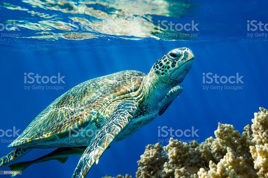 Loggerhead sea turtle Caretta caretta  - Red Sea stock photo