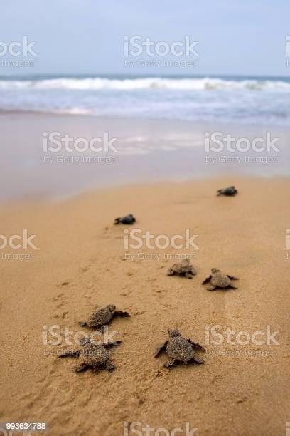 Loggerhead sea turtle emergence picture id993634788?b=1&k=6&m=993634788&s=612x612&h=5iw kq7rwowhz3h11ihibsy 6gaja1rdvsj8iecd9lu=