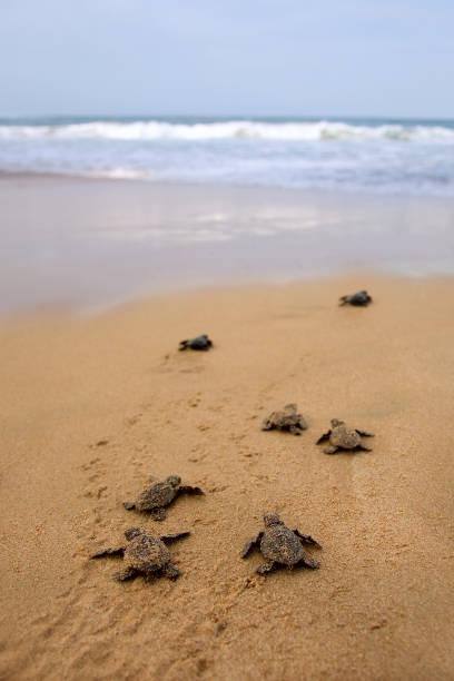 loggerhead meeresschildkröte entstehung - rettungsinsel stock-fotos und bilder