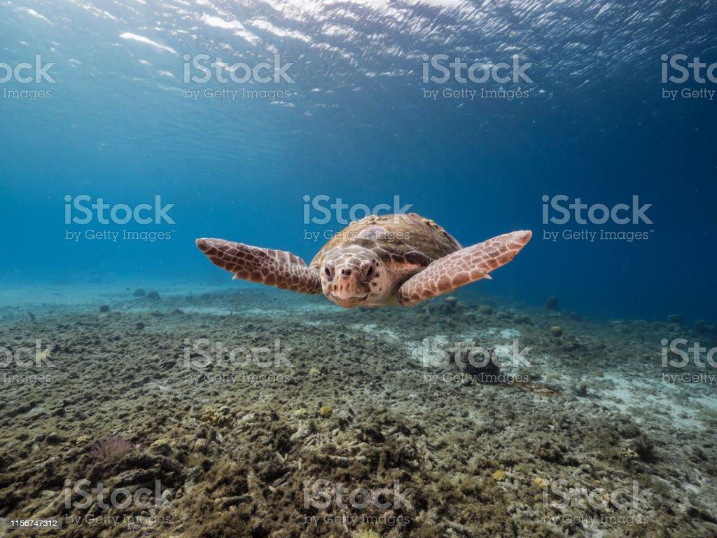 Loggerhead Sea Turtle in coral reef of Caribbean Sea around Curacao swimming Loggerhead Sea Turtle in coral reef around Curacao / Dutch Antilles Animal Wildlife Stock Photo