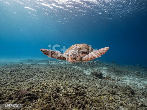 swimming Loggerhead Sea Turtle in coral reef around Curacao / Dutch Antilles