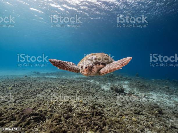 Loggerhead Sea Turtle In Coral Reef Of Caribbean Sea Around Curacao Stock Photo - Download Image Now