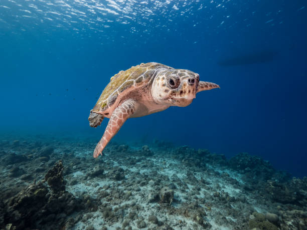 Loggerhead Sea Turtle in coral reef of Caribbean Sea around Curacao stock photo