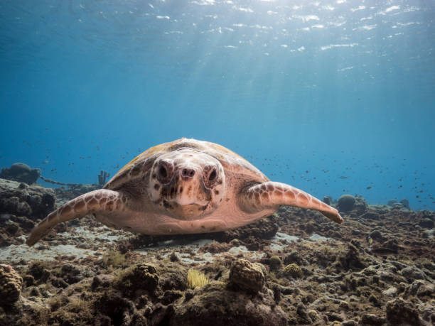 Loggerhead Sea Turtle in shallow water of the coral reef in the Caribbean Sea around Curacao stock photo