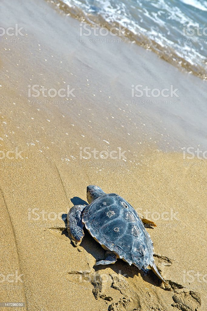 Loggerhead Sea Turtle (C. caretta) stock photo