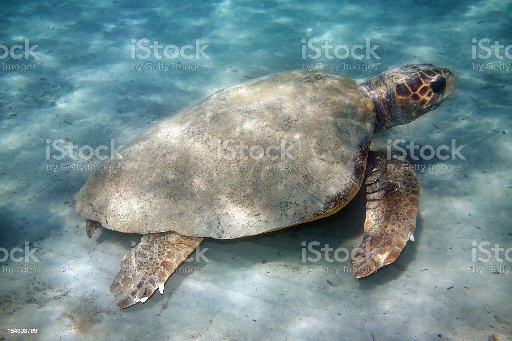 Loggerhead sea turtle stock photo