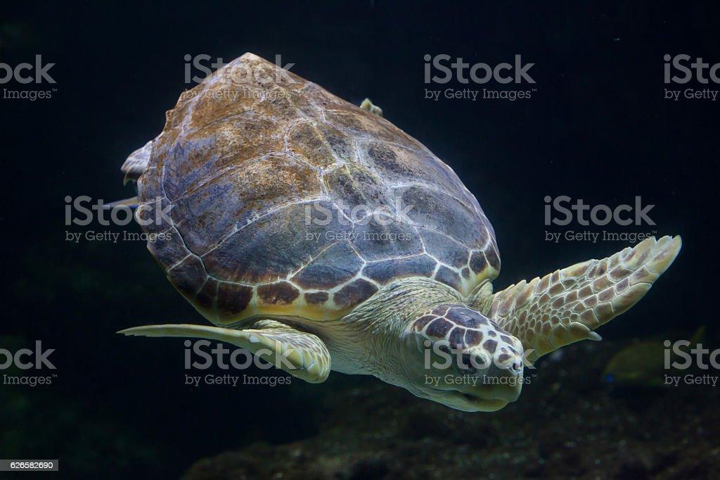 Loggerhead sea turtle (Caretta caretta) stock photo