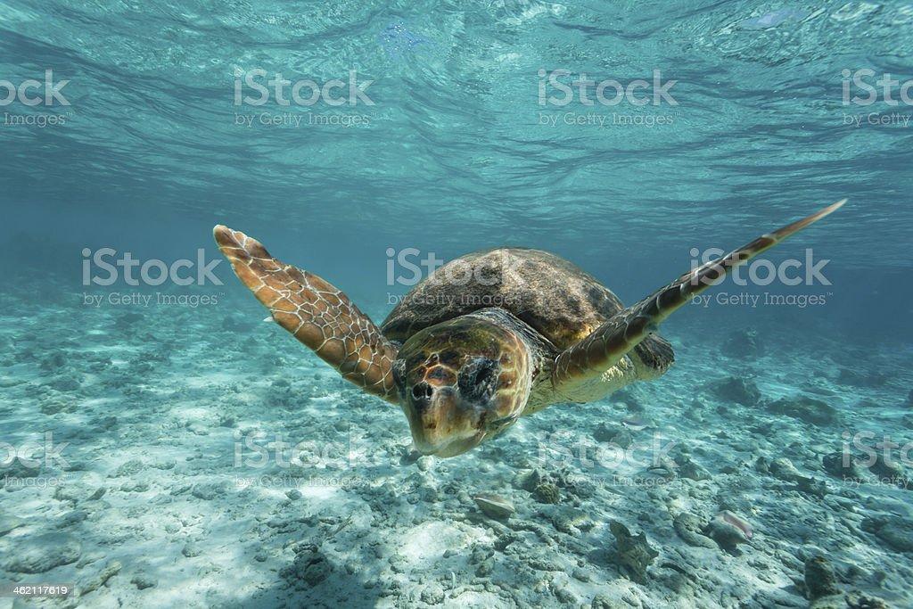 Loggerhead sea turtle swimming in clear turquoise water on reef stock photo