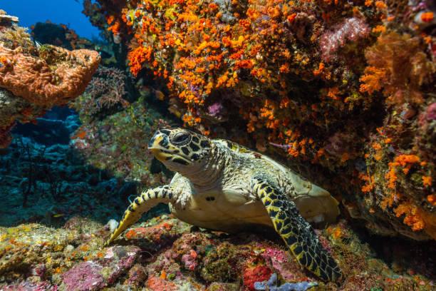 loggerhead sea turtle swimming on a colorful coral reef stock photo