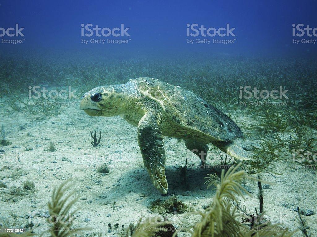 Loggerhead sea turtle swimming on coral reef stock photo